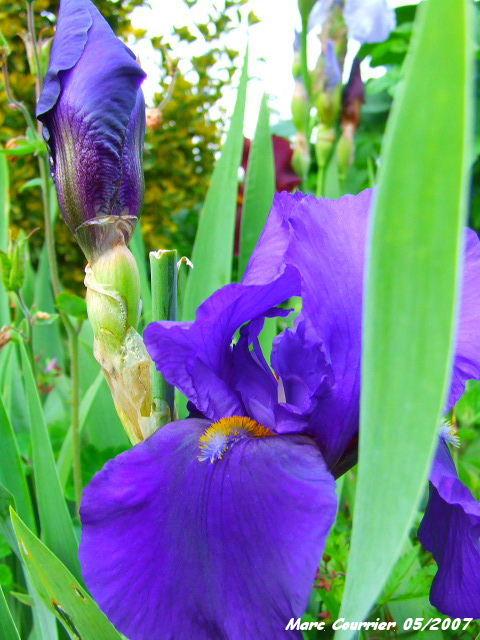 Iris bleus 118