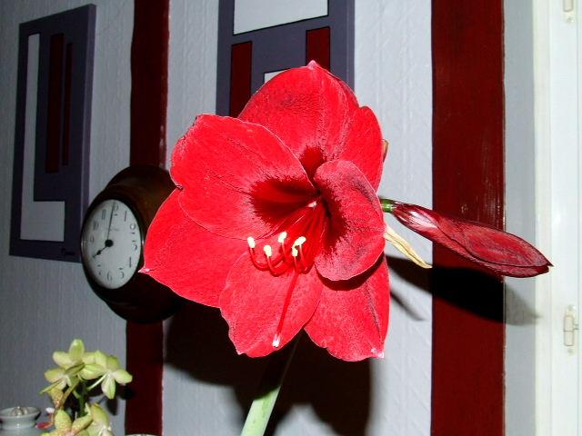 Amaryllis royal red 2010_011
