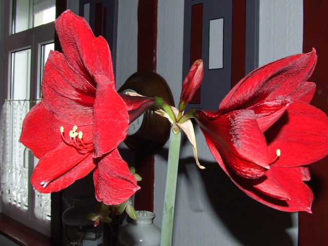 Amaryllis royal red - Page 2 2010_012