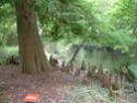 Que pensez-vous de ces bois pour sculpter ? - Page 2 Taxodi10