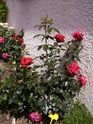 Rosiers buissons 18_mai13
