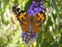 Papillons Belle_10