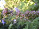 Vitex Fruit_10