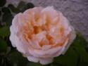 Rosiers buissons Johann12