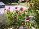 Rosiers buissons Juin_210