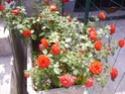 Rosiers buissons Juin_211