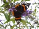 Papillons Le_vul10