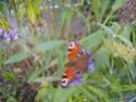 Papillons Paon_d11