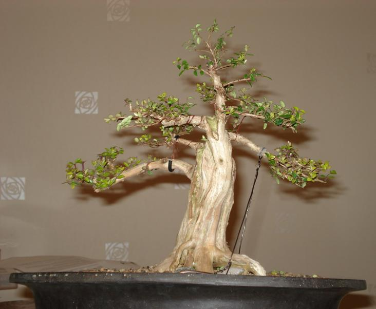 Shohin Lonicera, work in progress Blog_a11