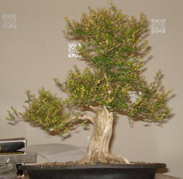 Shohin Lonicera, work in progress Blog_b10