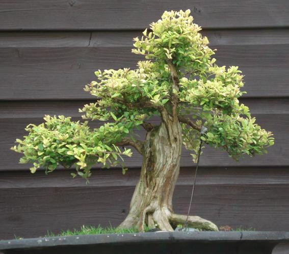 Shohin Lonicera, work in progress Lor_2_10