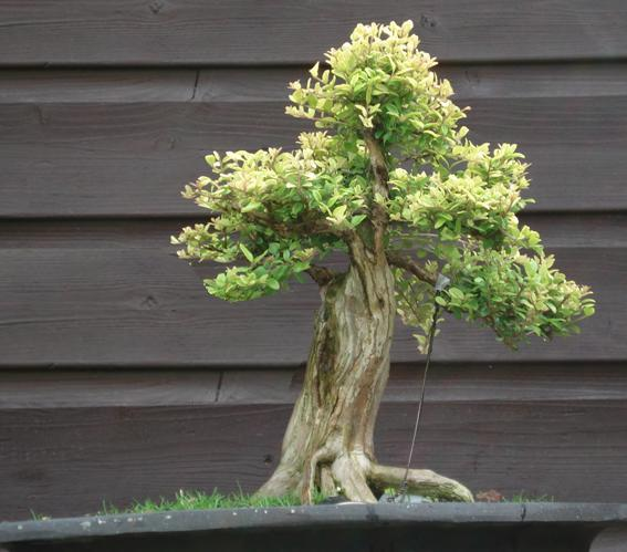 Shohin Lonicera, work in progress Lor_vi10