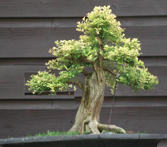 Shohin Lonicera, work in progress Lor_vi11