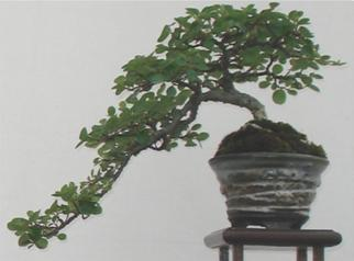 Eternity by CK – The story of the Sherwood Tree Sherwo12