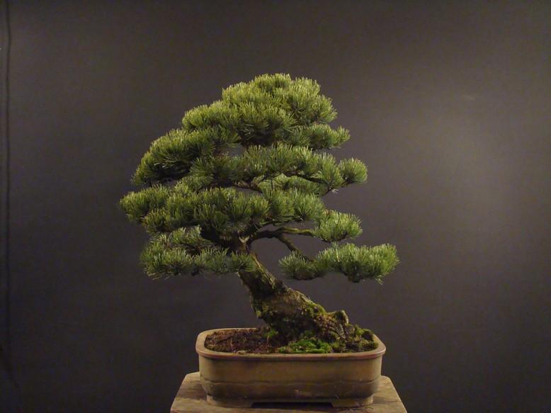 Pinus mugo 2004 Ib_112