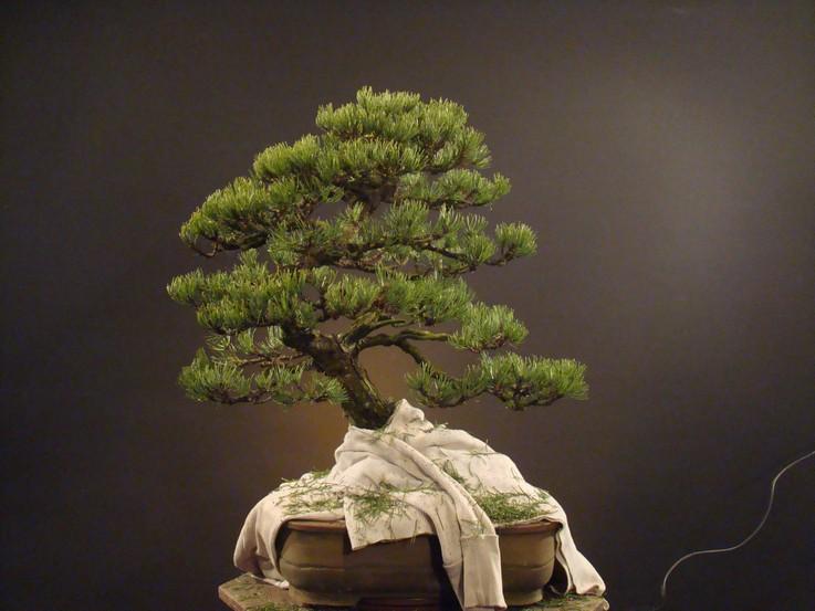 Pinus mugo 2004 Ib_212