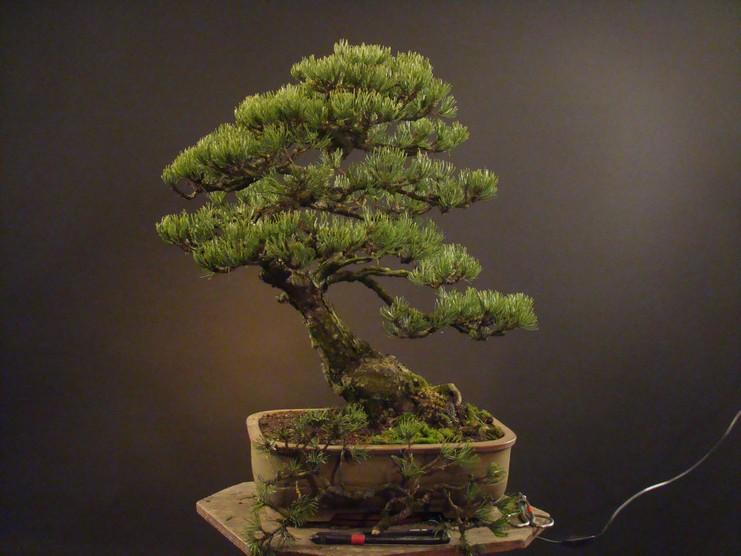 Pinus mugo 2004 Ib_312