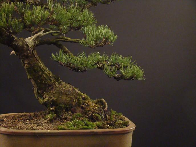 Pinus mugo 2004 Ib_412