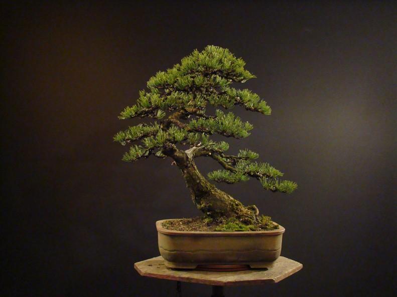 Pinus mugo 2004 Ib_512