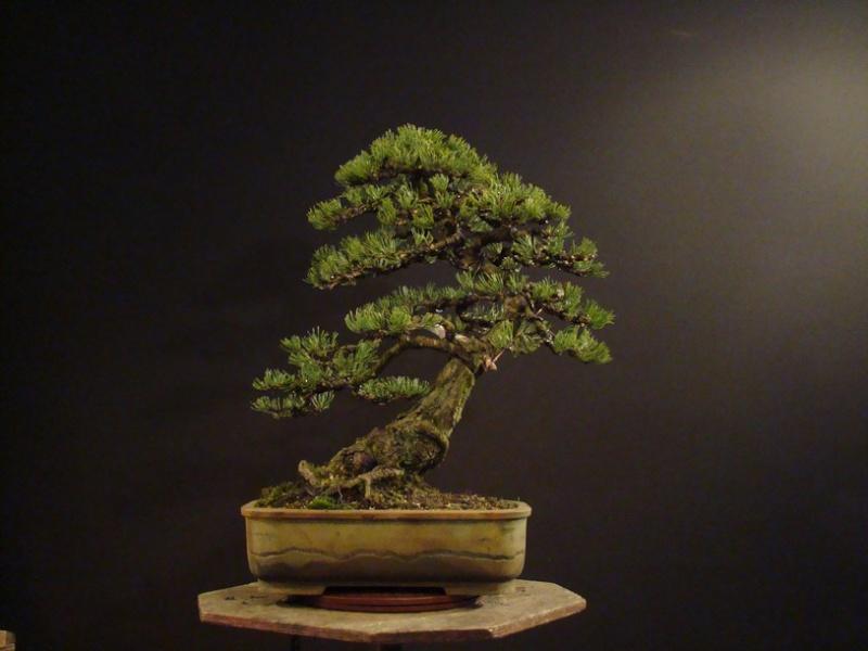 Pinus mugo 2004 Ib_612