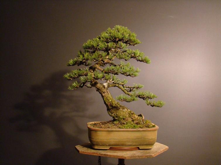 Pinus mugo 2004 Ib_811