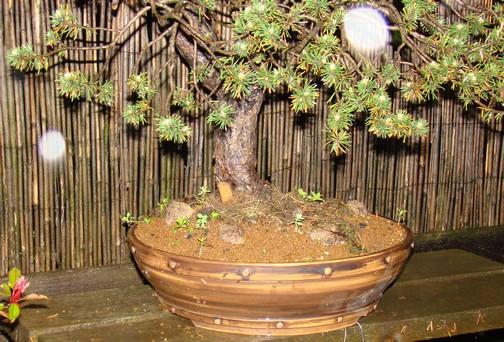 Pinus sylvestris - wider trunk Km_1010