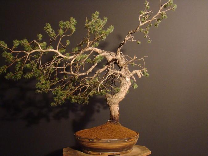 Pinus sylvestris - wider trunk Km_310