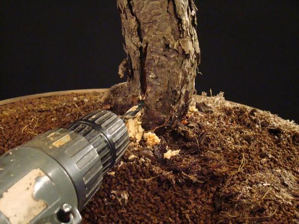 Pinus sylvestris - wider trunk Km_510