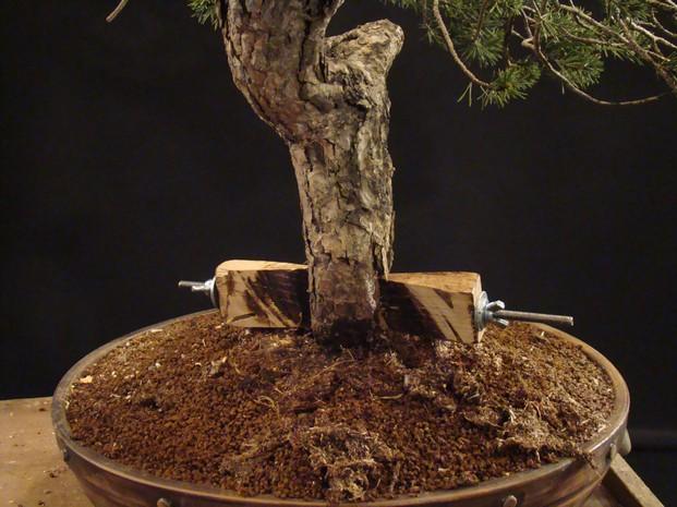 Pinus sylvestris - wider trunk Km_610