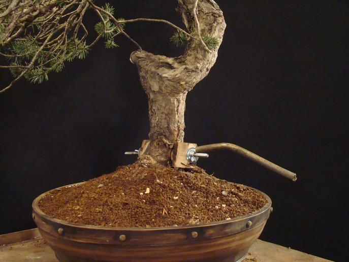 Pinus sylvestris - wider trunk Km_710