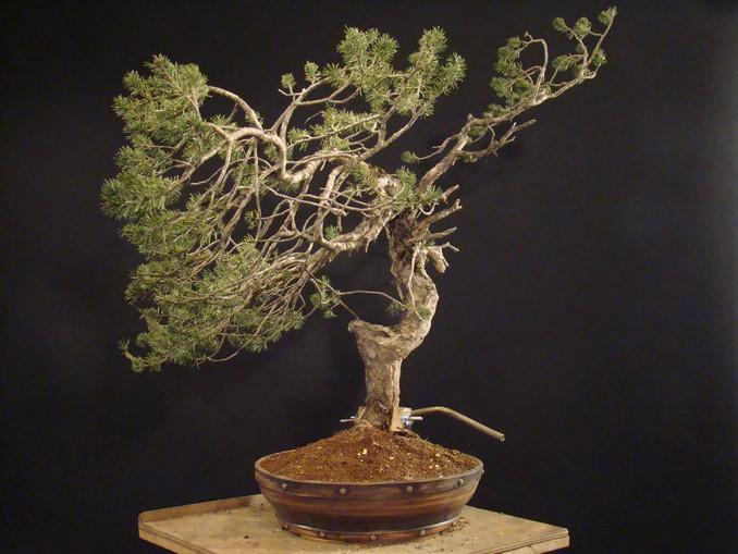 Pinus sylvestris - wider trunk Km_810