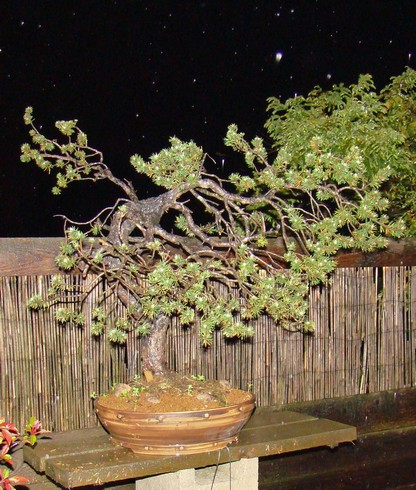 Pinus sylvestris - wider trunk Km_910