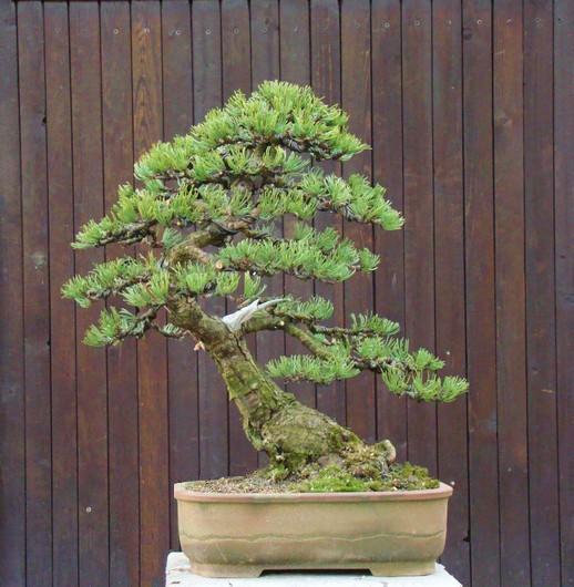 Pinus mugo 2004 Kopie_16