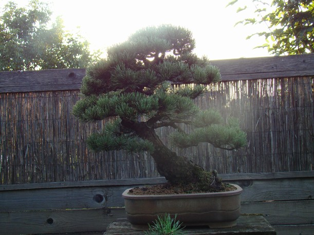 Pinus mugo 2004 Mni_1010
