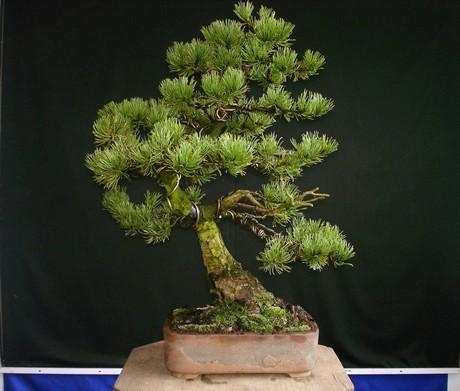Pinus mugo 2004 Mni_310