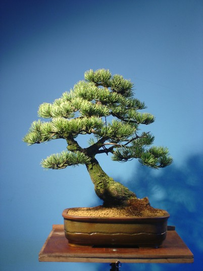 Pinus mugo 2004 Mni_410