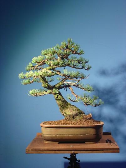 Pinus mugo 2004 Mni_510