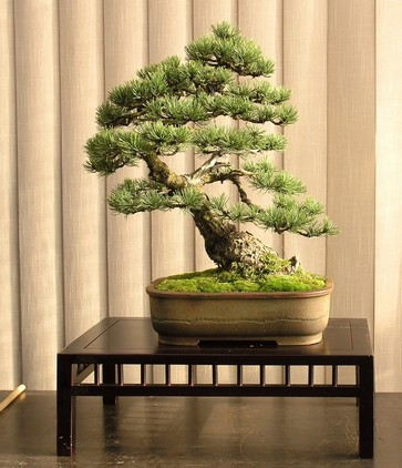 Pinus mugo 2004 Mni_610
