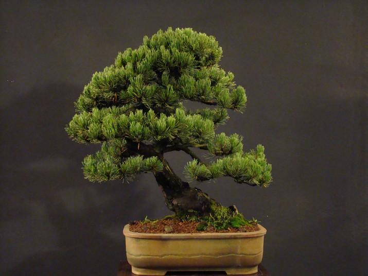 Pinus mugo 2004 Mni_710