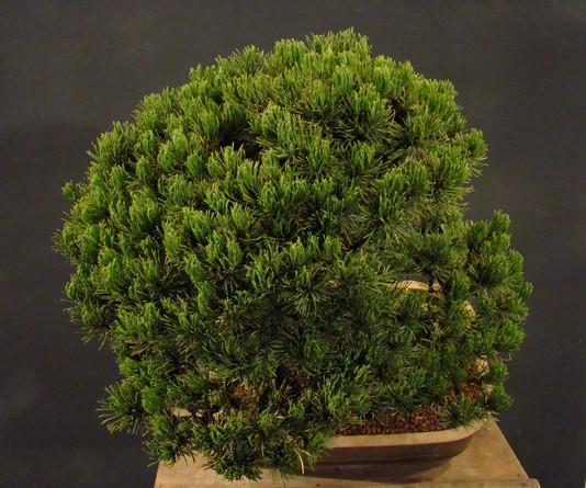 Pinus mugo 2004 Mni_810