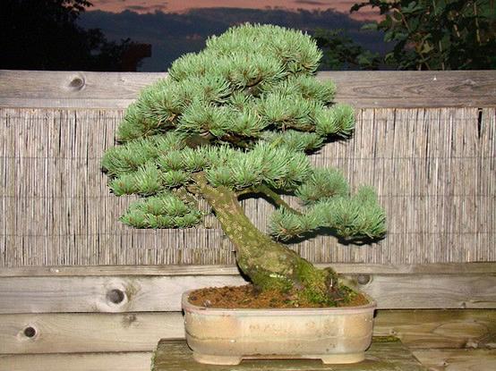 Pinus mugo 2004 Mni_910