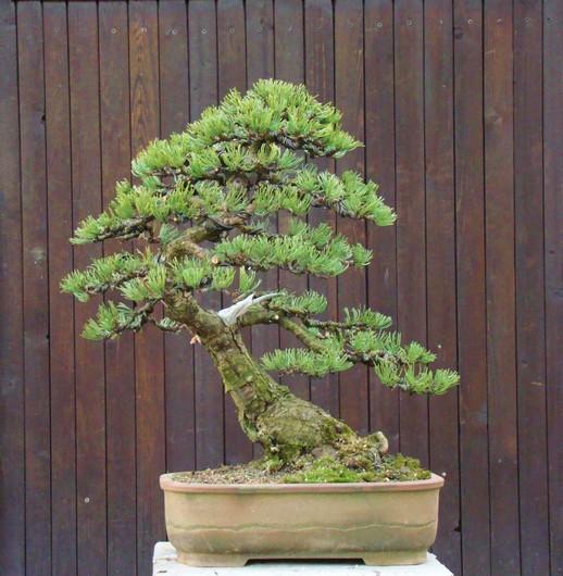 Pinus mugo 2004 Mti_0010