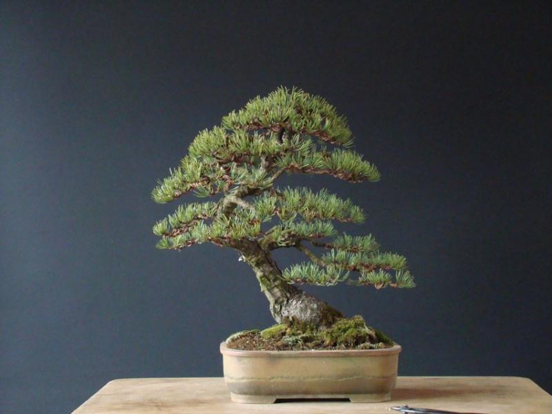 Pinus mugo 2004 - Page 2 Pab_110