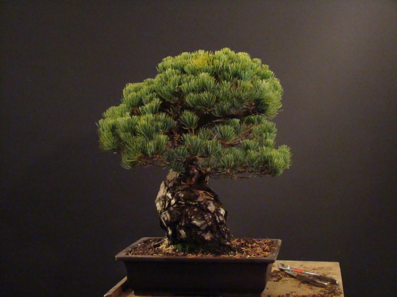 Pinus parviflora (owner my client) - restyling  2011 Parv_110