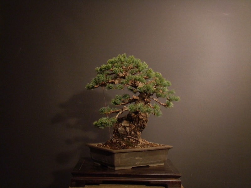 Pinus parviflora (owner my client) - restyling  2011 Parv_112