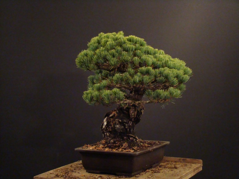 Pinus parviflora (owner my client) - restyling  2011 Parv_210