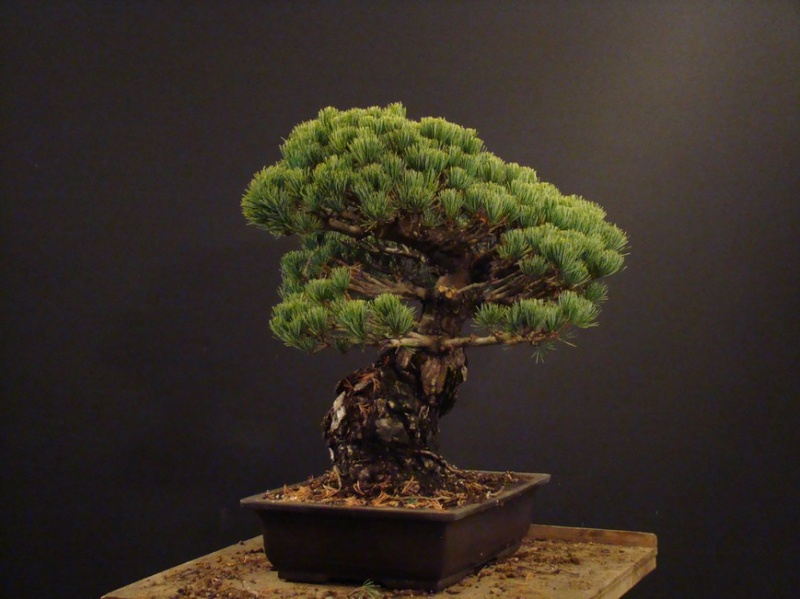 Pinus parviflora (owner my client) - restyling  2011 Parv_310