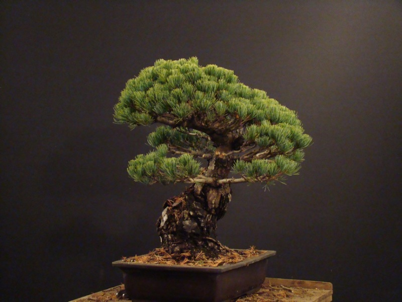 Pinus parviflora (owner my client) - restyling  2011 Parv_410