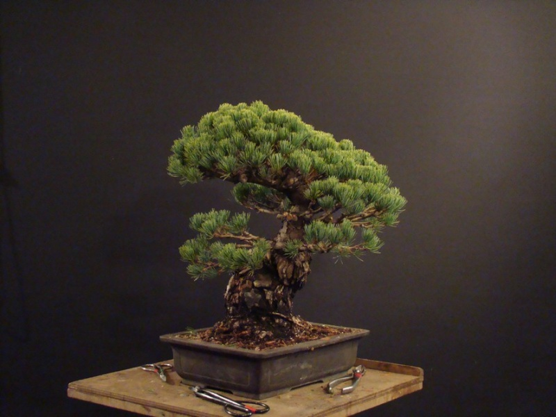 Pinus parviflora (owner my client) - restyling  2011 Parv_510