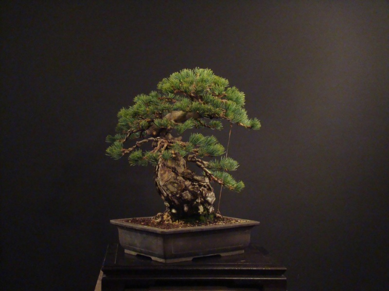 Pinus parviflora (owner my client) - restyling  2011 Parv_810